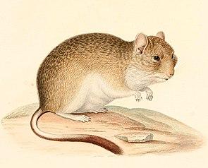 Octodontomys gliroides 1847 - cropping.jpg