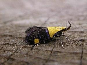 Oecophora - Adult Oecophora bractella at Hellerup (Denmark)