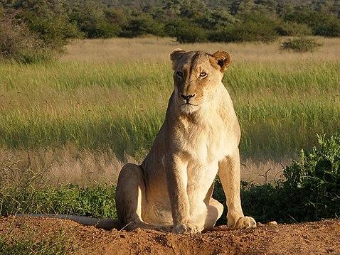 Okonjima Lioness edited.jpg