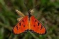 Open wing position of Acraea terpsicore Linnaeus, 1758 – Tawny Coster WLB DSC 4662.jpg