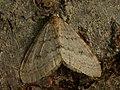 Operophtera fagata ♂ - Northern winter moth (male) - Пяденица зимняя (самец) (27085796228).jpg