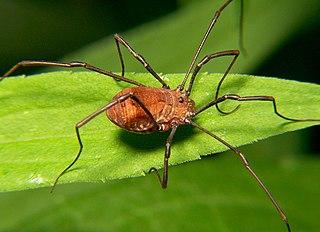 Opiliones Order of arachnids (harvestmen/daddy longlegs)