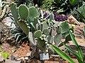 Opuntia leucotricha - Kunming Botanical Garden - DSC03052.JPG