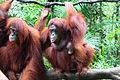 Orang Utans, Singapore Zoo (4447943205).jpg