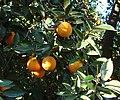 Oranges, Prospect Park, Redlands, CA 2-2012 (6841887747).jpg