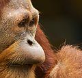 Orangutan III (13945320511).jpg