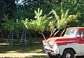 Orchard.ladders.jpg