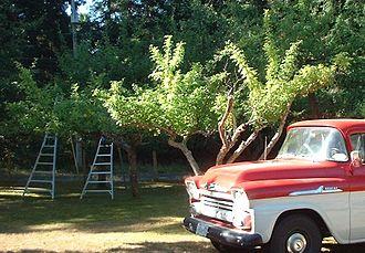 Fruit picking - Image: Orchard.ladders