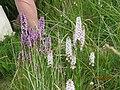 Orchids Bull Island 2015.jpg