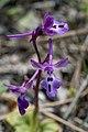 Orchis anatolica, Crete 05(js).jpg