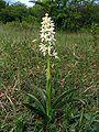 Orchis mascula alba Saarland 21.jpg
