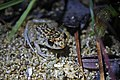 Oriente Mottled Frog (Eleutherodactylus simulans) (8571332707).jpg