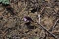 Orobanche uniflora 5677.JPG