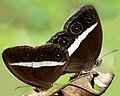 Orsotriaena medus by Kadavoor.jpg