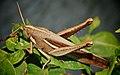 Orthoptera (2411633902).jpg