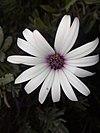 Osteospermum - Οστεόσπερμο ή διμορφοθήκη 02.jpg