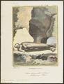 Otaria ursina - 1700-1880 - Print - Iconographia Zoologica - Special Collections University of Amsterdam - UBA01 IZ21100077.tif