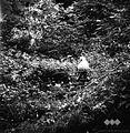 Ovce na paši 1963 (3).jpg