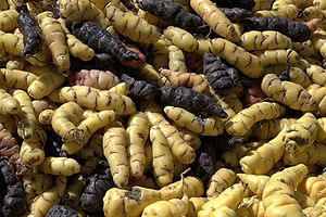 Oxalis tuberosa - Yellow and purple Oxalis tuberosa (oca) tubers