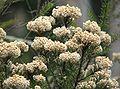 Ozothamnus diosmifolius.jpg
