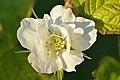 Põldmuraka õis Rubus caesius.jpg