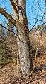 Pörtschach Winklern Quellweg Wanderweg Eichenstamm 12012020 8026.jpg