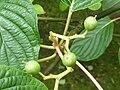 P1000347 Cornus controversa (Cornaceae).JPG