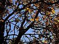 P20101216-0013--Platanus racemosa--RPBG (15993318202).jpg