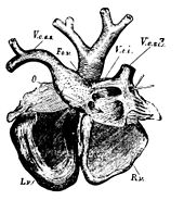 PSM V19 D666 Dorsal view of a dugong heart.jpg