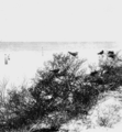 PSM V76 D406 Noddy gulls nesting on bird key tortugas.png