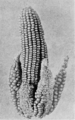 PSM V77 D203 Inherited abnormalities appearing in maize 1.png
