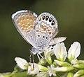 PYGMY-BLUE, WESTERN (Brephidium exile) (8-2-12) san rafael grassland, scc, az -01 (7701287184).jpg