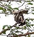 Pachycoccyx audeberti, Tanzanië.jpg