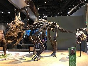 Pachyrhinosaurus - P. perotorum mounted at the Perot Museum