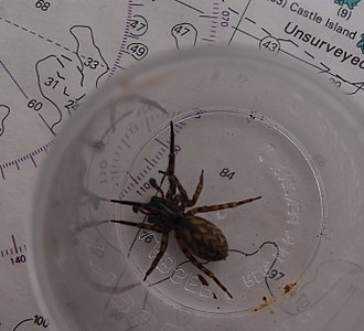Bounty Islands - Pacificana cockayni spider from Proclamation Island (possibly an adult male)