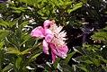 Paeonia lactiflora Doreen 1zz.jpg