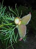 Paeonia tenuifolia 2016-05-31 1937.jpg