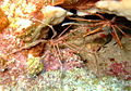 Pair of Arrow Crabs on the Fathom.jpg