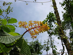 Palicourea - Foreground: leaves and inflorescence of unidentified Palicourea species
