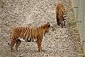 Panthera tigris jacksoni at Parc des Félins 10.jpg
