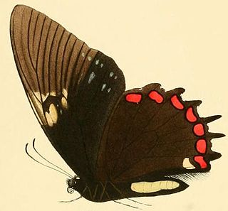 <i>Papilio garamas</i> species of insect