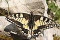 Papilio machaon, Suchet - img 22441.jpg