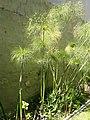 Papiro - Cyperus Papyrus.jpg