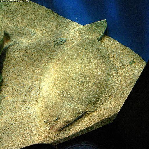 Paralichthys olivaceus Daiju Azuma, Paralichthys olivaceus, CC BY-SA 2.5