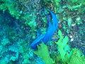Paraplesiops meleagris Western blue devil P1020875.JPG