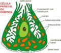 Parietal cell miguelferig.png