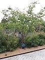Paris - Jardin d'Acclimatation - Cerisier à fleurs d'automne, planté en 2018.jpg