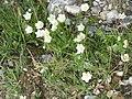 Parnassia palustris01.jpg