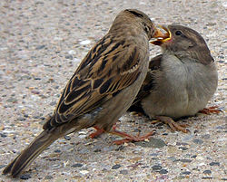 A female house sparrow feeding a fledgling