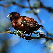 A small mainly chestnut coloured sparrow with a thick bill perching on a branch and ruffling its feathers